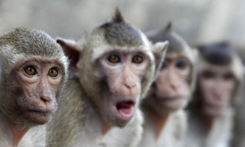 Macaque-monkeys